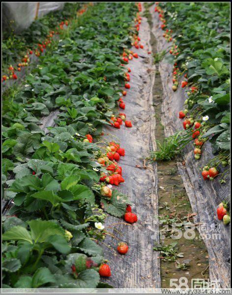 草莓/采摘西瓜、香瓜、草莓,好吃、好玩、实惠又新鲜