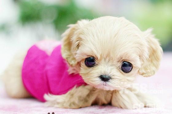 狗狗说晚安的图_【图】出售纯种日本袖珍犬,世界上最小的狗是什么品种的狗 ...